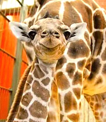 Dobby the Giraffe Debuts at Denver Zoo