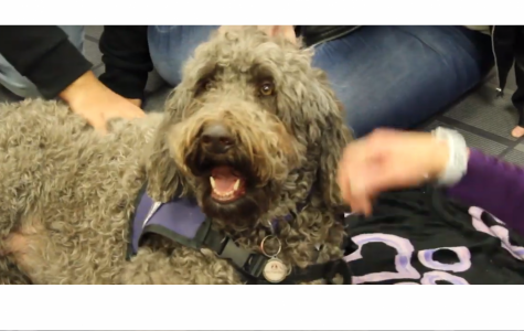 Ziva, a therapy dog for Denver Pet Partners, at ACC's library for their semi-annual De-Stress Fest.