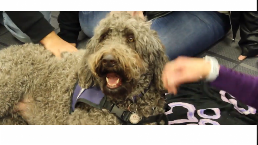 Ziva, a therapy dog for Denver Pet Partners, at ACC