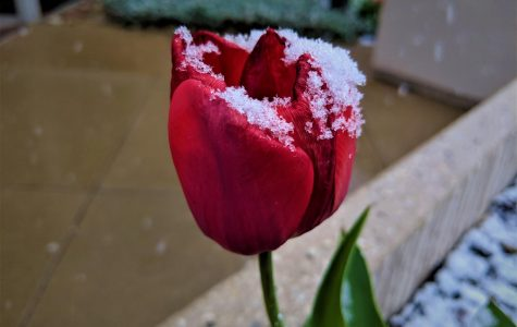 A single snow covered tulip outside Vitalant Blood Center in Lowry Colo. on Apr. 29, 2019. The mid spring snowfall typically represents the end of the winter weather.
