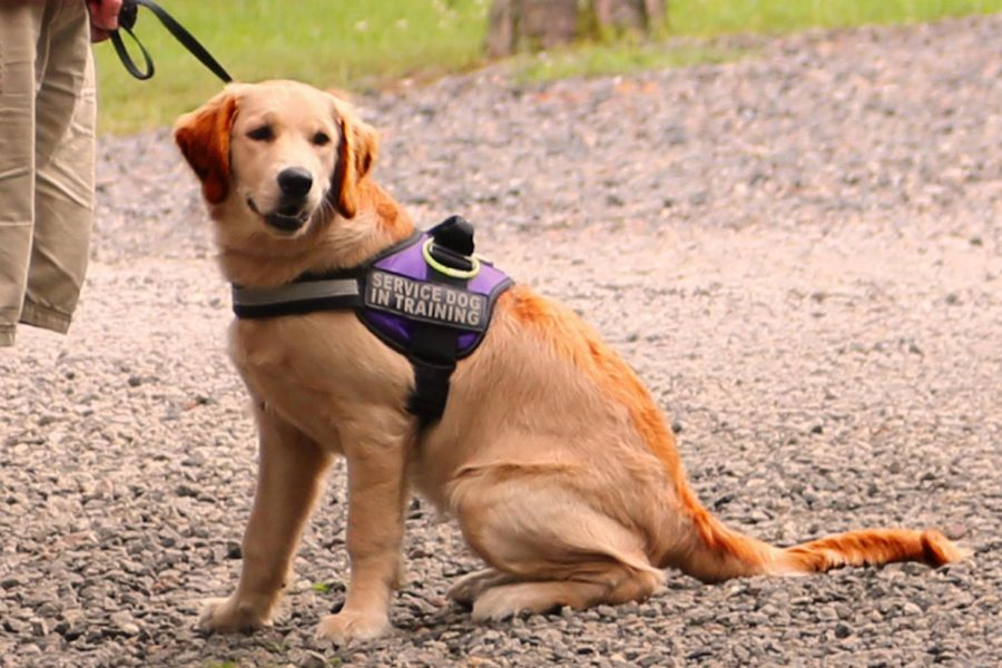 A+golden+retriever+service+dog+in-training+sits+next+to+his+handler.+Golden+retrievers+are+considered+one+of+the+best+breeds+for+service+due+to+many+essential+traits+they+possess.
