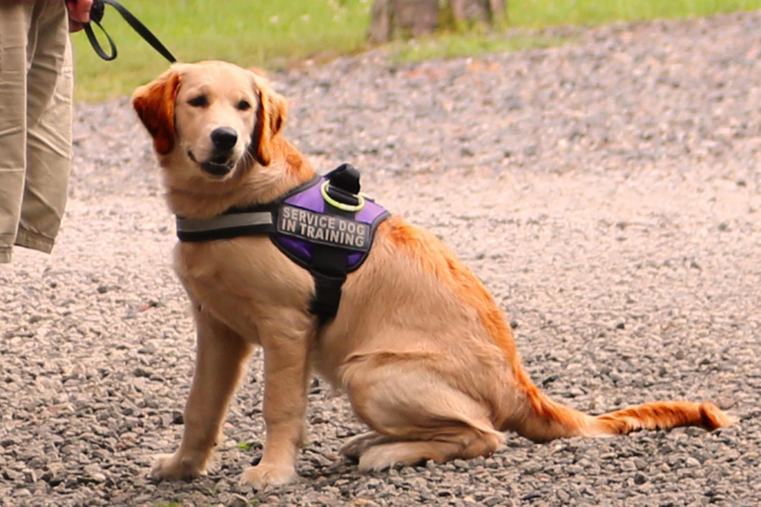 A golden retriever service dog in-training sits next to his handler. Golden retrievers are considered one of the best breeds for service due to many essential traits they possess.