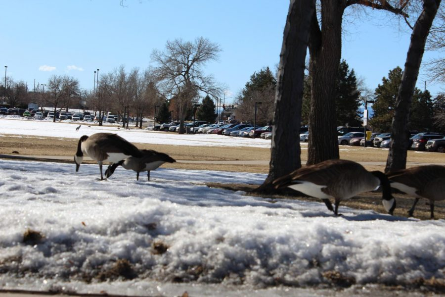 Geese congregate near Lot E at the ACC Littleton campus on Feb. 27 2020