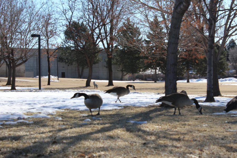 Geese stand at a distance from a cardboard cut out of a fox near Lot E at the Littleton campus on Feb. 27 2020