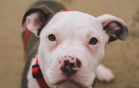 A white and black pit bull.